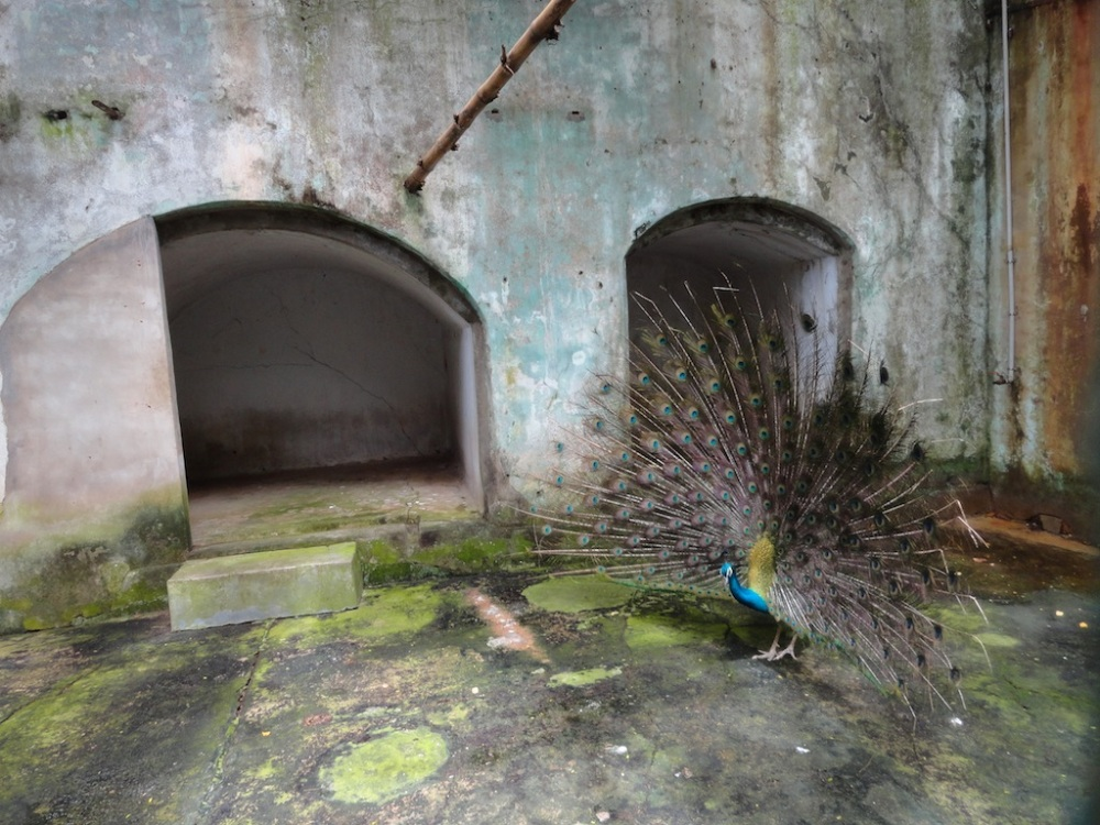 Peacock at Trivandum Zoo.