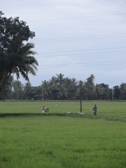 Bicycle tracks through rice paddies in Kerela